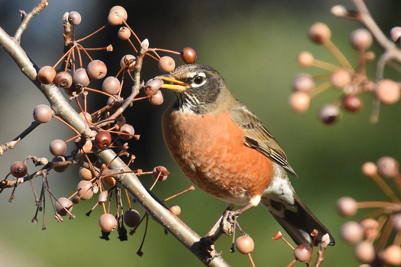 #1340  American Robin eating crabapples