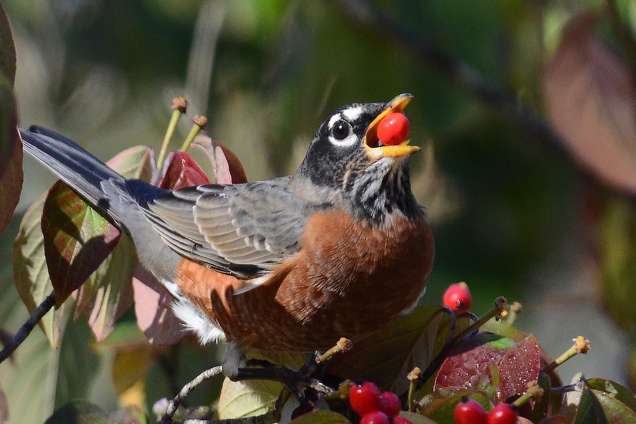#1339  American Robin eating dogwood berries