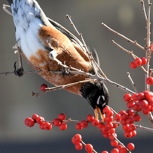 #1251  American Robin eating Winterberries