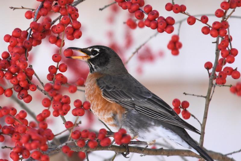#1265  American Robin eating Winterberries