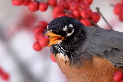 1216  An American Robin eating a Winterberry