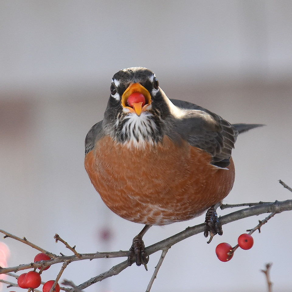 #1258  American Robin eating Winterberry