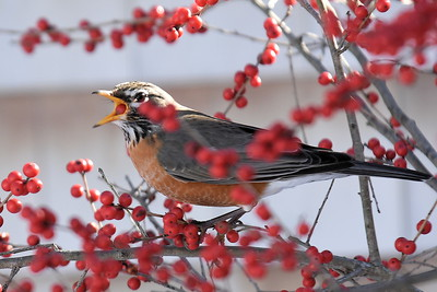 #1252  American Robin eating Winterberries