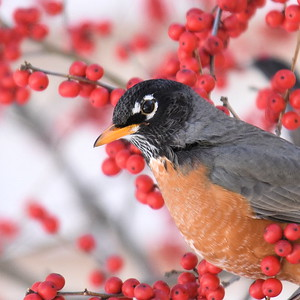 #1263  American Robin amidst Winterberries