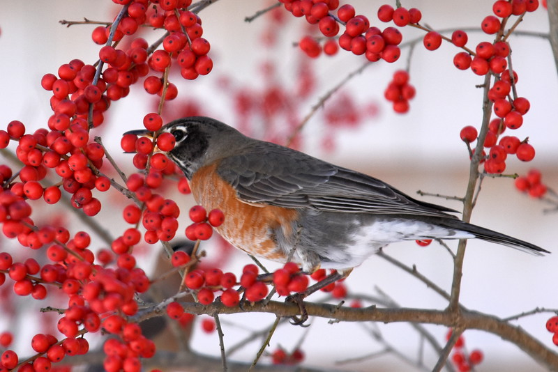 #1266  American Robin eating Winterberries