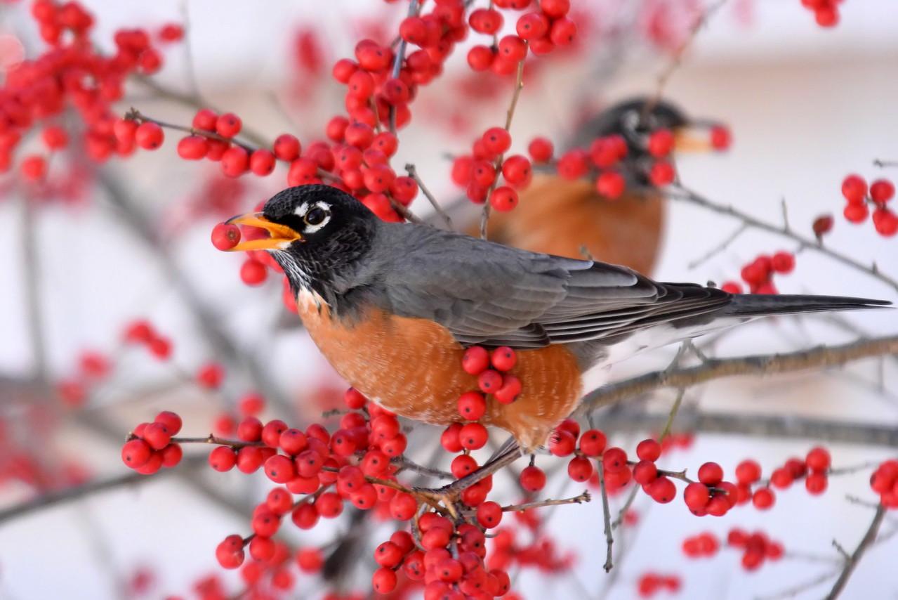 #1262  American Robin eating Winterberries