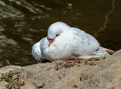 White Morph/ Albino Rock Pigeon