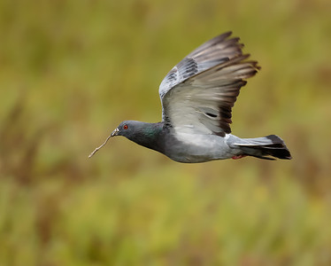 Pigeon in Flight with Stick