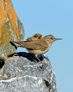 Rock Wren, at nest in Eastern Sacramento Co, CA, 6-20-13. Cropped image.