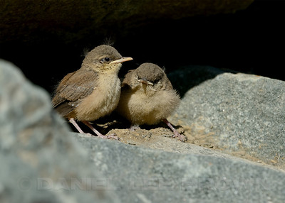 Rock Wren fledglings. In Eastern Sacramento Co, CA, 6-18-13. Cropped image.