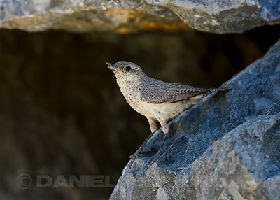 Adult Rock Wren with abnormal bill, Sacramento Co, CA, 6-17-13. Cropped image.