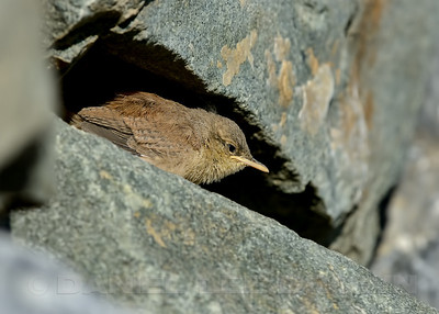Rock Wren fledgling. In Eastern Sacramento Co, CA, 6-18-13. Cropped image.