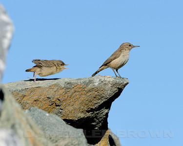 Rock Wren, adult and fledgling. In Eastern Sacramento Co, CA, 6-20-13. Cropped image.
