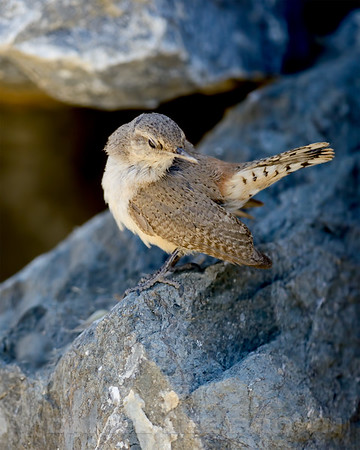 Rock Wren, nesting in Eastern Sacramento Co, CA,2013