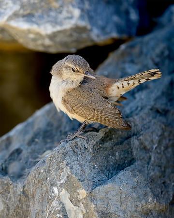 Rock Wren, nesting in Eastern Sacramento Co, CA,2013