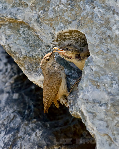 Rock Wren, at nest in Eastern Sacramento Co, CA, 6-17-13. Cropped image.