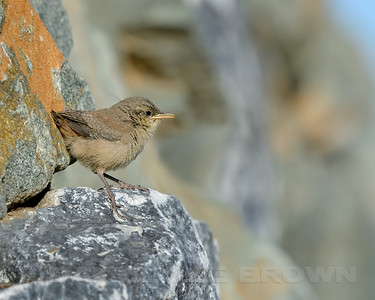 Rock Wren fledgling. In Eastern Sacramento Co, CA, 6-20-13. Cropped image.
