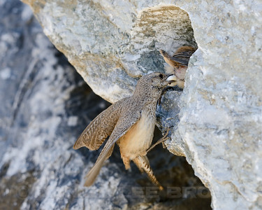 Rock Wren, extracting a fecal sac from a nestling. Eastern Sacramento Co, CA, 6-17-13. Cropped image.