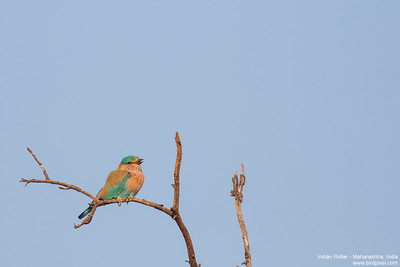 Indian Roller - Maharashtra, India