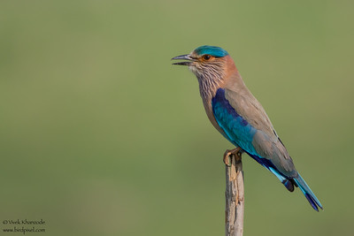 Indian Roller - Pench National Park, India