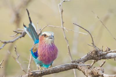Lilac-breasted Roller - Serengeti National Park, Tanzania