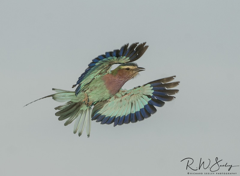 Lilac Breasted Roller in Sunrise Light
