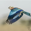 Lilac Breasted Roller In Flight Wings Down