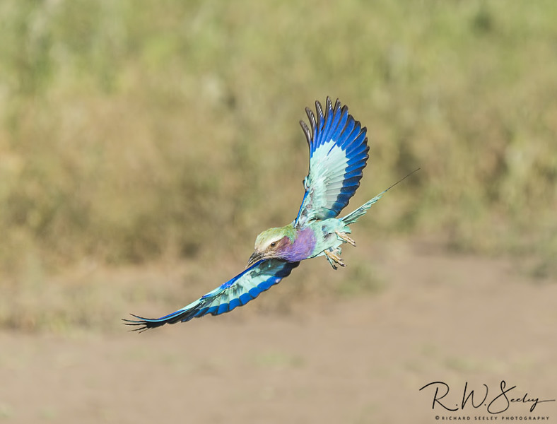 Lilac Breasted Roller Wings Spread