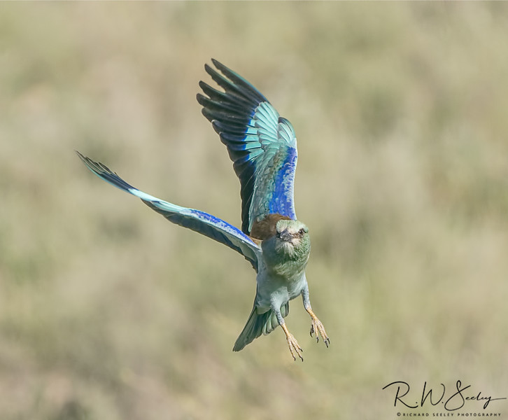 Lilac Breasted Roller Flies Face Forward