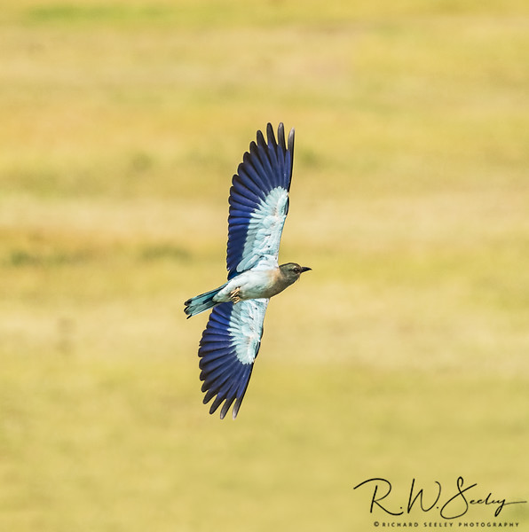 Lilac Breasted Roller in Vertical Roll