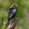 Brown headed Cowbird Male