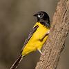 Audubon Oriole
