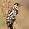 Ladder-backed Woodpecker Female