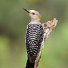 Golden fronted Woodpecker Female