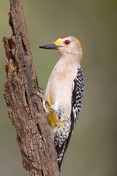 Golden fronted Woodpecker Male