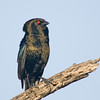 Bronzed Cowbird Male