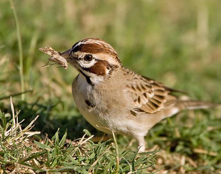 Lark Sparrow with a Moth