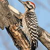 Ladder-backed Woodpecker Male