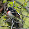 Male Rose-breasted Grosbeak perched on a branch