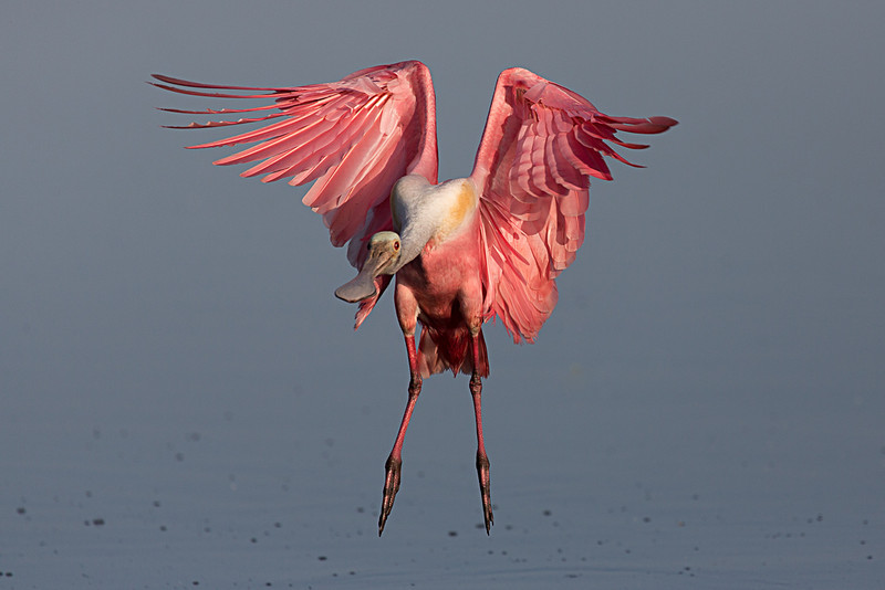 A very roseate spoonbill descends with shoulders back and wrists bent, its huge feathers rippling in the air. Considering his wings aren't spread and his tail is relatively narrow, I think he's just floating forward at good speed. Notice the bright colors of a breeding adult compared to the subdued pinks of the juvenile before.