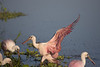 "And splashdown. Other birds are already here and refueling.<br /> ""Ladies and gentlemen, please remain seated until we've come to a full stop and I've stowed my wings. Have a nice stay in Fellsmere or where ever your final destination is. And thank you for flying Roseate Spoonbill Airways."""