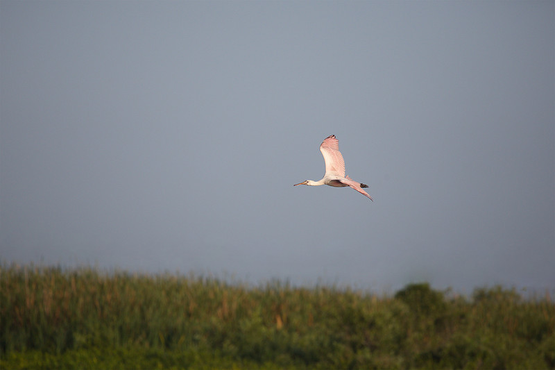 """""""Roseate Spoonbill Airlines, this is Fellsmere control. We have you landing on runway 180-R, so please come left to one six zero.""""<br /> """"This is Roseate Spoonbill. Roger, one six zero."""""""