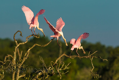 Rosetta Spoonbills on the march