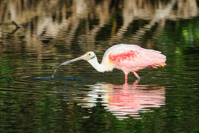 Spoonbill - Roseate - Ding Darling NWR - Sanibel Island, FL