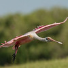 Adult Roseate Spoonbill Up Close and Personal