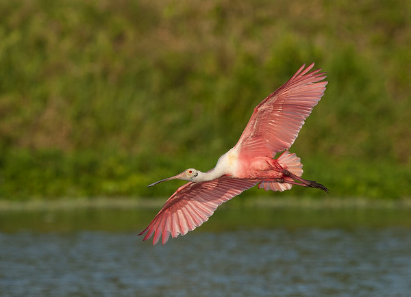 Beautiful Colors of the Adult Roseate Spoonbill