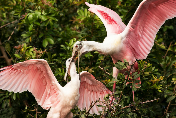 Roseate Spoonbill Juvenile Grabbing a Snack