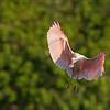 Roseate Spoonbill Juvenile Making an Awkward Landing