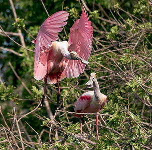 Roseate spoonbills at nest site. This begs for a funny caption