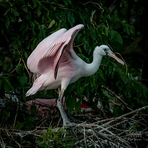 Roseate spoonbill juvenile, stretching wings at the nest site.